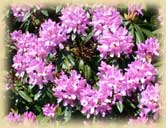 Photo of Rhododendrons